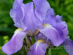 Rever D Iris Signification Interpretation Du Reve
