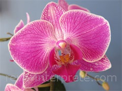 rever d'orchidee