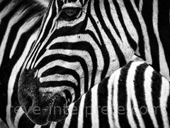 reve de zebre - interpretation des reves